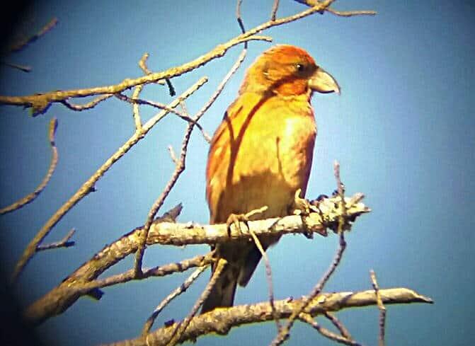 Vogelbeobachtung durch Spektiv - ein Fichtenkreuzschnabel in trockenen Ästen